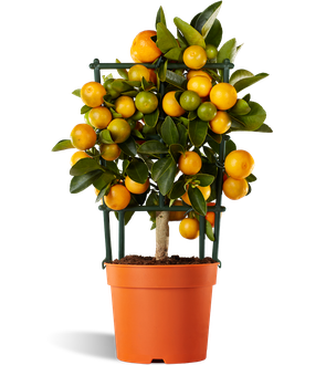 Calamondin Calamondin Orange Tree Oriana Citrina